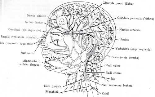 El vinculo entre los Nadis y los Chakras Los Chakras